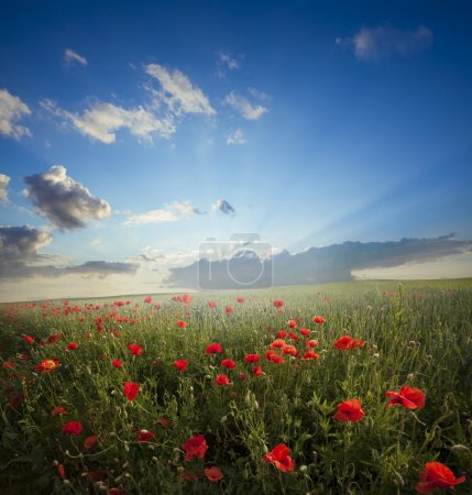 landscape.Red poppies