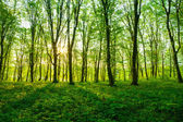 sunrise in the green forest