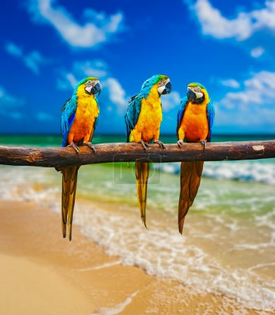 Blue-and-Yellow Macaw parrots on beach