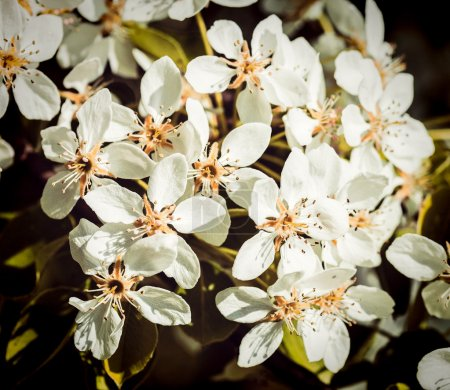 Photo pour Vintage effet rétro filtré image de style hipster de branche de pommier en fleurs au printemps - image libre de droit