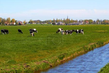 Photo pour Paysage typiquement hollandais avec des vaches terres agricoles et une maison de ferme journée ensoleillée - image libre de droit