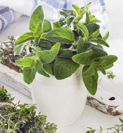 Photo pour Herbes vertes fraîches. Thym et origan. Concentration sélective - image libre de droit