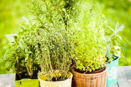 Photo pour Jardin agréable maison aux fines herbes - romarin, sauge, basilic, thym et origan - image libre de droit