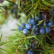 Juniper on the bush. Close up berries in the fores...