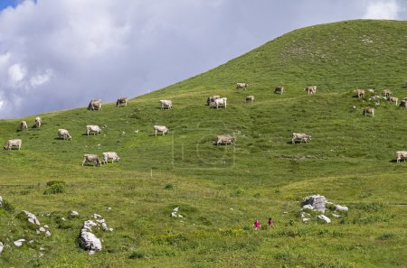 A herd of cows on a mountain pasture.