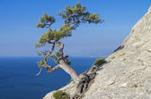 Pine on a cliff above the sea. Crimea.