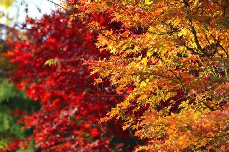 Photo pour Feuilles d'acer japonais révélant les belles couleurs automnales des saisons changeantes - image libre de droit