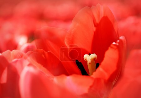 Beautiful red tulips background