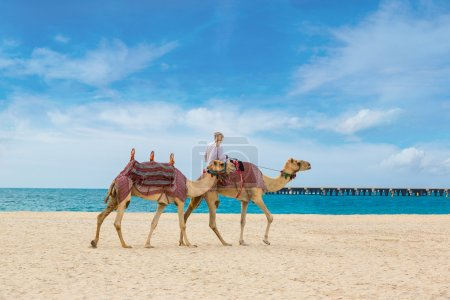 Camels with rider walking on beach
