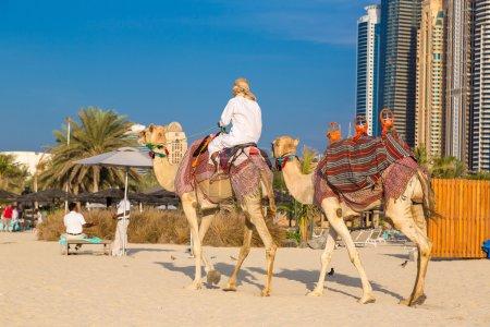 Camels in Dubai Marina