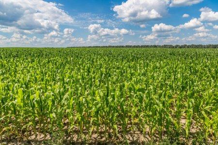 Green corn field
