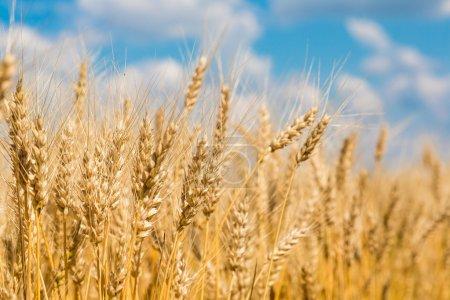 Photo pour Grain jaune prêt à être récolté dans un champ agricole - image libre de droit