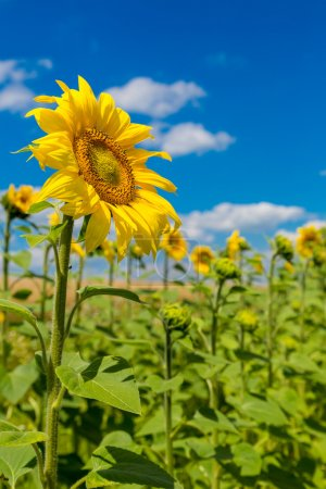 Photo for Blooming field of sunflowers on blue sky - Royalty Free Image