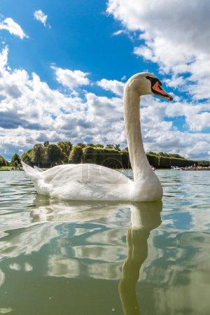 Mute Swan on lake