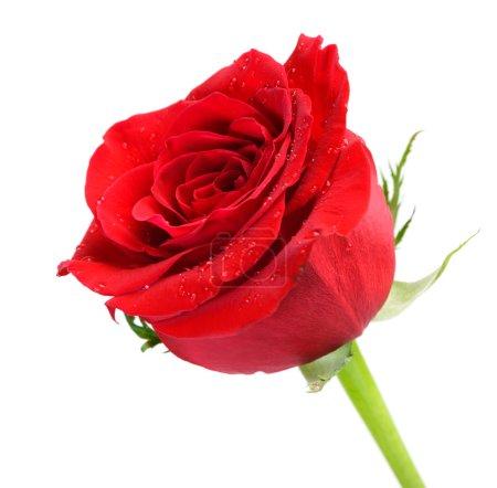 Photo pour Rose rouge parfaite isolée sur blanc - image libre de droit