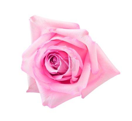 Photo pour Rose rose parfait isolé sur blanc - image libre de droit