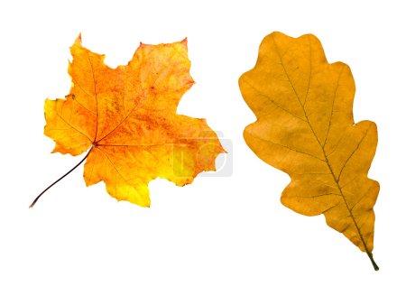 Photo pour Feuilles d'érable et de chêne feuillage d'automne isolé - image libre de droit