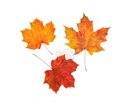 Photo pour Ensemble de feuilles d'érable sèches colorées isolées - image libre de droit
