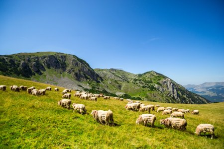 Sheep in the green hills of the mountains