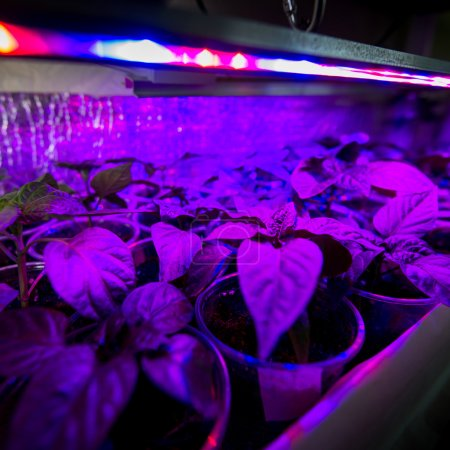 Photo for Cultivation of fresh herbs and pepper with red and blue leds. Using special LED equipment in rooms without light and in greenhouses. LEDs with a wavelength of 630nm, 660nm, 440nm, 445nm, 430nm,d blue leds. The basil is grown without daylight, the led - Royalty Free Image
