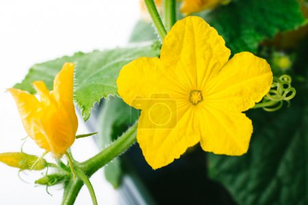 Photo for Cucumber flower on a white background in a greenhouse, organic farming - Royalty Free Image