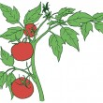 Постер, плакат: Bush tomatoes