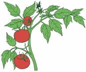 Bush tomatoes with three mature fruits Vector illustration