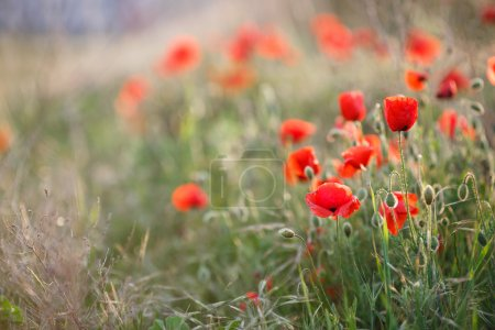 Wild flowers of the red poppy