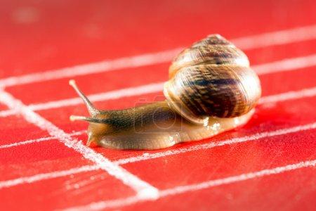 Photo pour Escargot sur la piste d'athlétisme traverse la ligne d'arrivée - image libre de droit