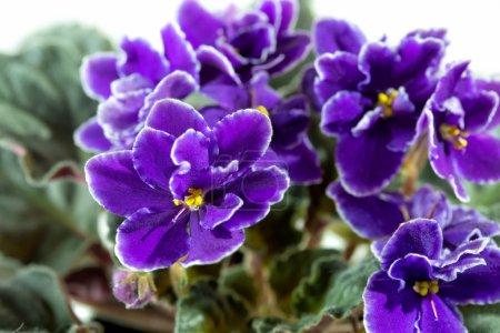 Photo pour Fleurs de Violette africaine (Saintpaulia) gros plan - image libre de droit