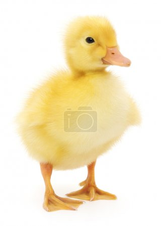 one duckling