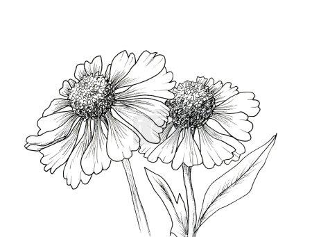 Photo pour Fond romantique avec fleurs échinacées isolées sur blanc - image libre de droit