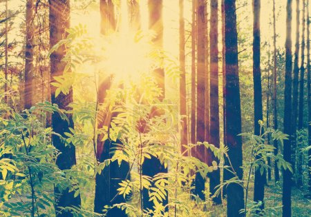 Sunset beams  in the woods