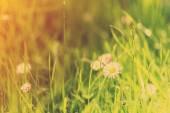 Zelené trávy a sedmikrásky