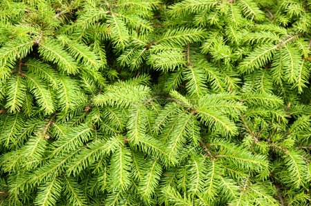 Green background from fir-tree branches