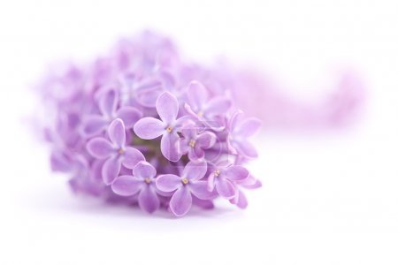 Foto de Flores lilas fragantes (Syringa vulgaris) sobre blanco. Profundidad de campo poco profunda, enfoque selectivo - Imagen libre de derechos