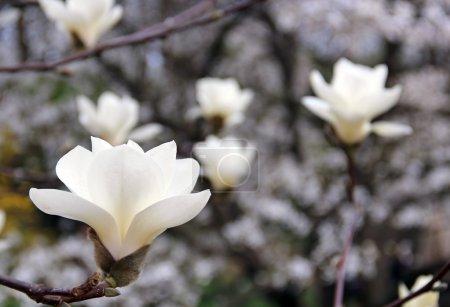 Photo pour Magnolia blanc en fleur - image libre de droit