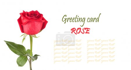 Red rose with green leaves isolated on white background