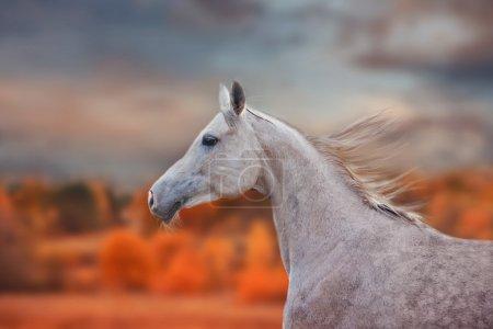The Grey Arabian Horse portrait