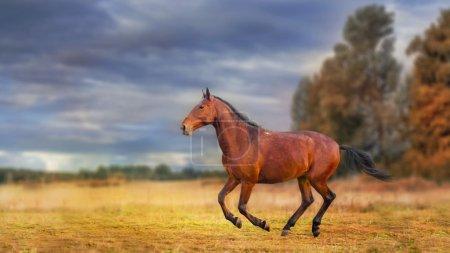 The Russian Karachai horse