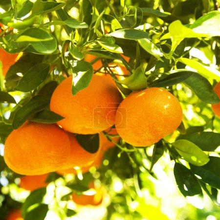 Photo pour Mandarines mûres sur une branche d'arbre, gros plan - image libre de droit