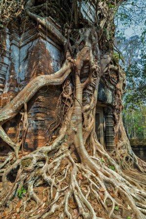 tree jungle temple Koh Ke, Cambodia