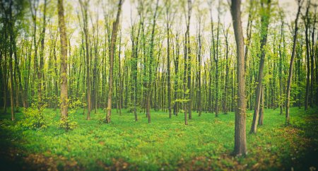 Photo for Beautiful nature at morning in the misty spring forest with sun rays - Royalty Free Image