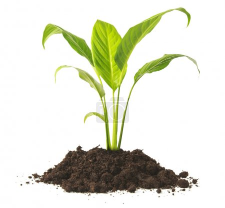 Photo for Plant tree growing seedling in soil isolated on white background - Royalty Free Image
