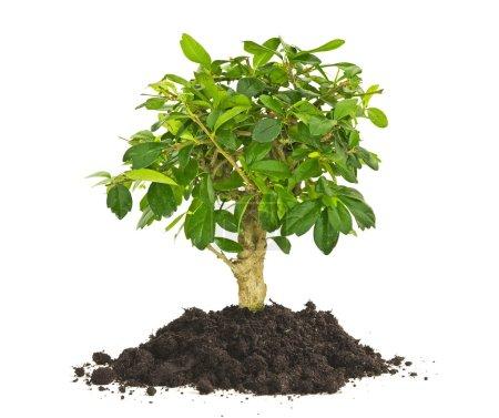 Photo pour Arbuste plante des semis dans un sol isolé sur fond blanc - image libre de droit
