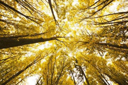 Photo pour Vue de bas or forêt automnale - image libre de droit