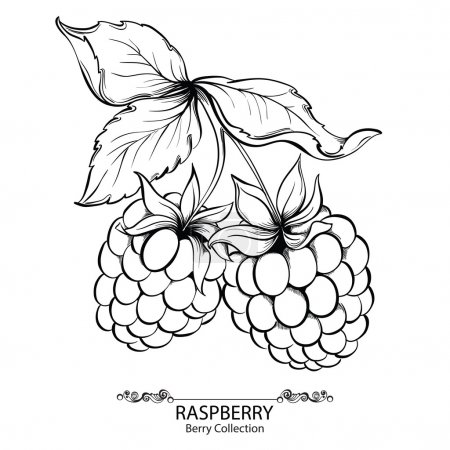 Raspberry. Vector illustration of ink hand drawn b...