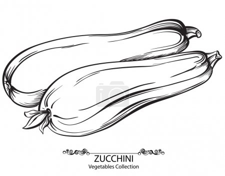 Zucchini. Vector hand drawn vegetables isolated on white background