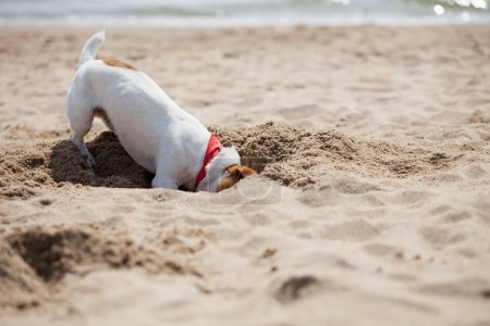 Small Jack Russel puppy dog playing on the beach