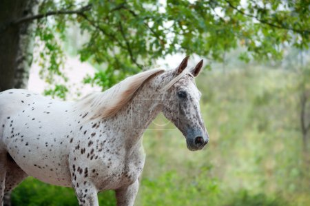 Portrait of knabstrupper breed horse - white with brown spots on